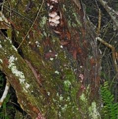 Mycena clarkeana at Brogo, NSW - 16 Jun 2018