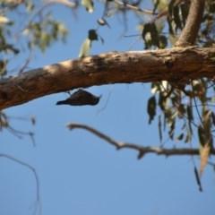 Cormobates leucophaea (White-throated Treecreeper) at Wamboin, NSW - 9 Mar 2018 by natureguy
