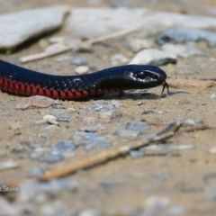 Pseudechis porphyriacus (Red-bellied Black Snake) at Conjola Bushcare - 25 Sep 2015 by Charles Dove