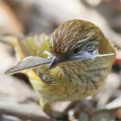 Acanthiza lineata (Striated Thornbill) at Conjola Bushcare - 28 Sep 2015 by Charles Dove