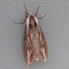 Endoxyla encalypti (Wattle Goat Moth) at Undefined - 7 Dec 2017 by CBrandis