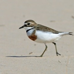 Charadrius bicinctus (Double-banded Plover) at Cunjurong Point, NSW - 14 Sep 2015 by Charles Dove