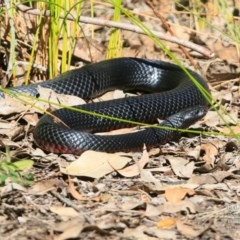 Pseudechis porphyriacus (Red-bellied Black Snake) at Conjola Bushcare - 12 Sep 2015 by Charles Dove
