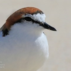 Charadrius ruficapillus (Red-capped Plover) at Cunjurong Point, NSW - 14 Sep 2015 by Charles Dove