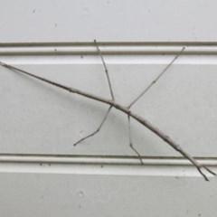 Ctenomorpha marginipennis (Margin-winged stick insect) at Ulladulla - Millards Creek - 15 Apr 2016 by CRSImages