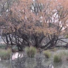 Salix nigra (Black Willow) at Jerrabomberra Wetlands - 28 May 2018 by michaelb