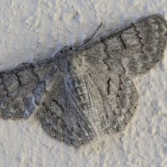 Crypsiphona ocultaria (Red-lined Geometrid) at Ulladulla, NSW - 9 Jan 2017 by CBrandis