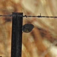 Smicrornis brevirostris (Weebill) at Wanniassa Hill - 24 Jun 2018 by RodDeb