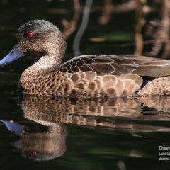 Anas castanea (Chestnut Teal) at Milton, NSW - 8 Sep 2015 by Charles Dove