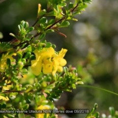 Hibbertia sp. (Guinea Flowe) at South Pacific Heathland Reserve - 9 Sep 2015 by Charles Dove