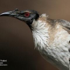 Philemon corniculatus (Noisy Friarbird) at Conjola Bushcare - 6 Sep 2015 by Charles Dove
