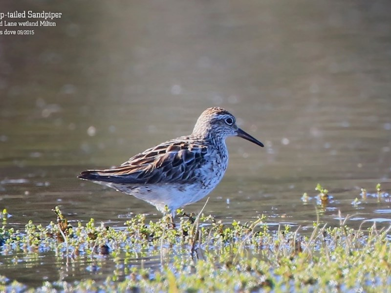 Calidris (Erolia) acuminata at Milton, NSW - 9 Sep 2015