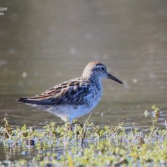 Calidris (Erolia) acuminata (Sharp-tailed Sandpiper) at Milton, NSW - 8 Sep 2015 by Charles Dove