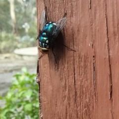 Rutilia (Ameniamima) argentifera (A Bristle fly) at Wamboin, NSW - 26 Feb 2018 by natureguy