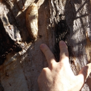 Chelepteryx collesi at Hughes, ACT - 25 Jun 2018