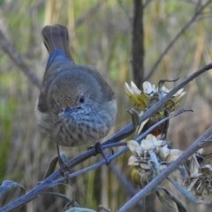 Acanthiza pusilla (Brown Thornbill) at ANBG - 25 Jun 2018 by RodDeb