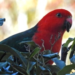 Alisterus scapularis (Australian King-Parrot) at ANBG - 25 Jun 2018 by RodDeb
