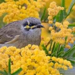 Caligavis chrysops (Yellow-faced Honeyeater) at Wairo Beach and Dolphin Point - 1 Sep 2015 by Charles Dove
