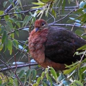 Macropygia (Macropygia) amboinensis at Brogo, NSW - 25 Jun 2018