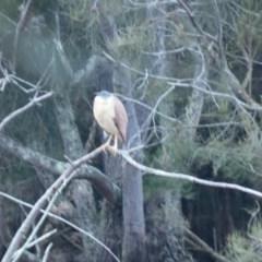 Nycticorax caledonicus (Nankeen Night-Heron) at Bawley Point Bushcare - 25 Jun 2018 by Marg