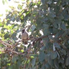 Melithreptus brevirostris (Brown-headed Honeyeater) at Callum Brae - 26 Jun 2018 by KumikoCallaway