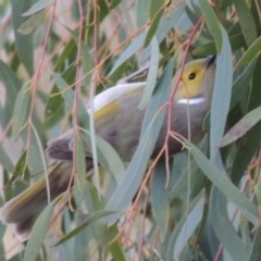 Ptilotula penicillatus (White-plumed Honeyeater) at Jerrabomberra Wetlands - 20 Jun 2018 by michaelb
