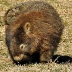 Vombatus ursinus (Wombat) at Booth, ACT - 26 Jun 2018 by RodDeb