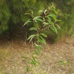 Acacia falcata (Hickory Wattle) at Undefined - 20 Jun 2018 by JackieMiles