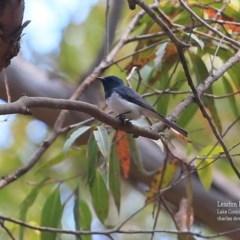 Myiagra rubecula (Leaden Flycatcher) at Conjola Bushcare - 28 Oct 2015 by Charles Dove