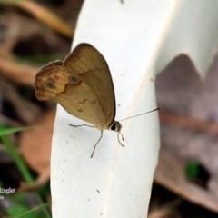 Hypocysta metirius (Brown Ringlet) at Wairo Beach and Dolphin Point - 26 Oct 2015 by Charles Dove