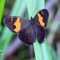 Tisiphone abeona (Varied Swordgrass Brown) at Wairo Beach and Dolphin Point - 25 Oct 2015 by Charles Dove
