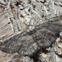 Pholodes sinistraria (Sinister Moth, Frilled Bark Moth) at Conder, ACT - 10 Jan 2018 by michaelb