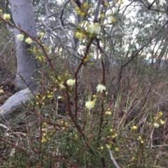 Acacia genistifolia (Early Wattle) at Black Mountain - 28 Jun 2018 by liztav