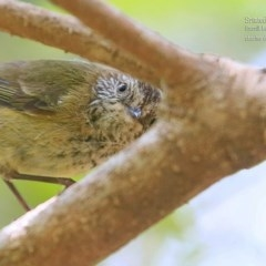 Acanthiza lineata (Striated Thornbill) at Meroo National Park - 11 Oct 2015 by Charles Dove