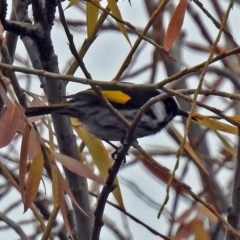 Phylidonyris niger X novaehollandiae (Hybrid) (White-cheeked X New Holland Honeyeater (Hybrid)) at Jerrabomberra Wetlands - 28 Jun 2018 by RodDeb