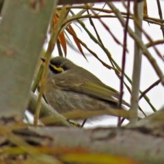 Caligavis chrysops (Yellow-faced Honeyeater) at Jerrabomberra Wetlands - 28 Jun 2018 by RodDeb