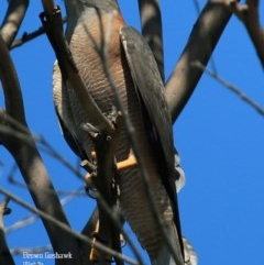 Accipiter fasciatus (Brown Goshawk) at South Pacific Heathland Reserve - 5 Oct 2015 by Charles Dove