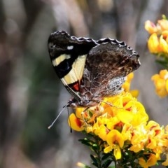 Vanessa itea (Yellow Admiral) at South Pacific Heathland Reserve - 4 Oct 2015 by Charles Dove