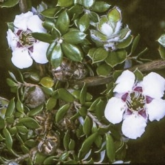 Leptospermum deuense at Deua National Park - 10 Nov 1996 by BettyDonWood