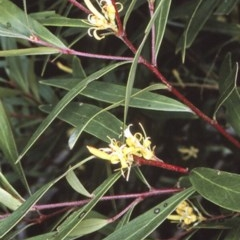Persoonia silvatica (Forest Geebung) at Deua National Park - 30 Dec 1996 by BettyDonWood