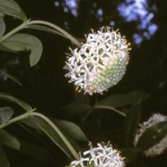 Pimelea ligustrina subsp. hypericina (Tall Rice-flower) at Deua National Park - 10 Nov 1996 by BettyDonWood