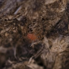 Anystidae (family) (Unidentified anystid mite) at Illilanga & Baroona - 21 Jun 2018 by Illilanga