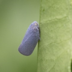 Anzora unicolor (Grey Planthopper) at Illilanga & Baroona - 28 Dec 2017 by Illilanga