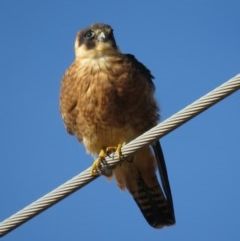 Falco longipennis (Australian Hobby) at Jerrabomberra Wetlands - 29 Jun 2018 by KumikoCallaway