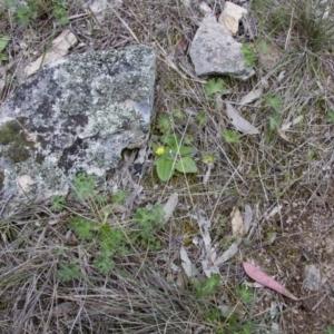 Cymbonotus sp. (preissianus or lawsonianus) at Illilanga & Baroona - 9 Oct 2016