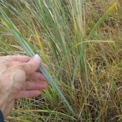 Ammophila arenaria (Marram Grass) at Batemans Marine Park - 29 Jun 2018 by JackieMiles