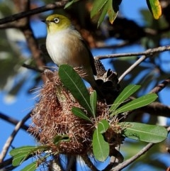Zosterops lateralis (Silvereye) at Undefined - 29 Jun 2018 by MaxCampbell