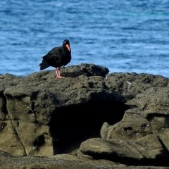 Haematopus fuliginosus (Sooty Oystercatcher) at Undefined - 29 Jun 2018 by MaxCampbell