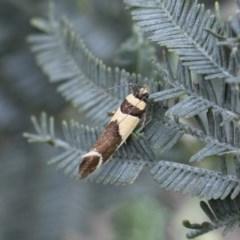 Macrobathra chrysotoxa (A cosmet moth) at Illilanga & Baroona - 28 Dec 2017 by Illilanga