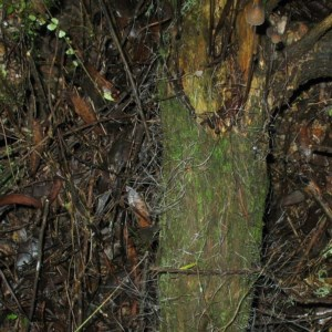 Mycena cystidiosa at Brogo, NSW - 30 Jun 2018